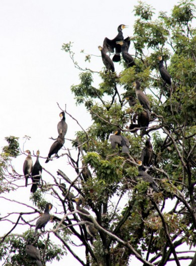 市内のコロニーで繁殖するカワウ