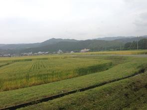 たわわに穂を実らせた家城神社近くの麦畑