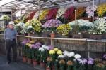 色とりどりの菊の展示と、米本さん