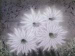 島田智葉「白い妖精」