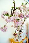 ショールームで見頃を迎えた「横輪桜」