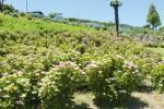 辺り一面に咲き乱れるあじさいの花