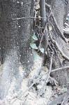 フラスが溜まった被害木