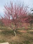 早咲きの梅の花