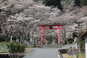 桜に彩られた「射手神社」の赤鳥居