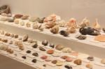 築地市場で収集された貝