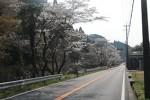国道163号沿いに咲く桜(南山城村北大河原付近)