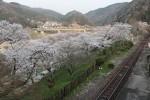 桜並木と笠置大橋(奥)