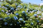 色とりどりのあじさいの花