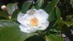 直径5㎝ほどの沙羅双樹(ナツツバキ)の花
