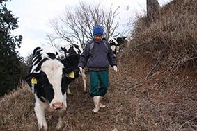 山地酪農の牧場「珠の牧」で、斜面を下りる牛たちと鈴木さん