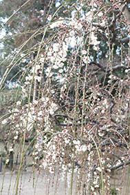 美しく咲く梅