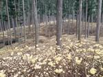 一面に黄色いミツマタが広がっている(22日撮影)