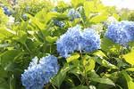 美しく咲くあじさいの花